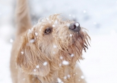 <h5>Highly Commended Experienced - Bailey First Snow by Julie Pigula</h5>