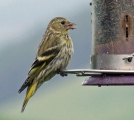 <h5>Female Siskin by Ann Hulme</h5>