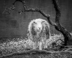 <h5>Can Ewe See Me by Laura Hacking</h5>