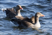 <h5>Graylag Geese by Ali Hill</h5>