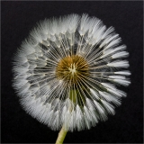<h5>Highly Commended Aspiring - Emerging Dandelion by Mike Pockney</h5>