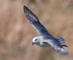 <h5>Fulmar by Sandy Robertson</h5>