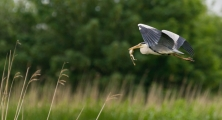 <h5>Grey Heron With Marsh Frog by Scott Sinden</h5>