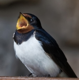 <h5>Singing Swallow by Gerry Simpson</h5>