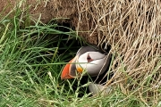 <h5>Puffin Emerging From Burrow by Sylvia Morrow</h5>