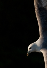 <h5>2nd Experienced - Fulmar Might by Sandy Robertson</h5>