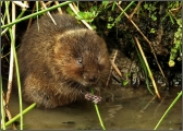 <h5>Water Vole Feeding by Ada Cowie</h5>