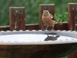 <h5>Male Chaffinch Reflected by Ann Hulme</h5>