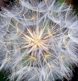 <h5>Dandelion by Terry Aspittle</h5>