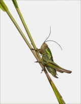 <h5>Bush Cricket on Grass by Mike Pockney</h5>