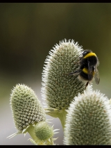 <h5>Bumble Bee on Teazle by Richard Adams</h5>