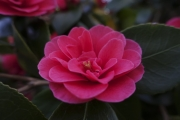 <h5>Highly Commended Aspiring - Camelia by Claire Faulkner</h5>