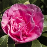 <h5>Aspiring - Pink Camellia by Keith Parker</h5>