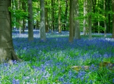 <h5>Aspiring - Bluebell Wood by Davina Williams</h5>