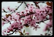 <h5>Aspiring - Cherry Blossom by Roger Taylor</h5>