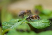 <h5>Experienced - Apis Mellifera - First Spring Outing by Scott Sinden</h5>
