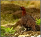 <h5>Experienced - Red Grouse on Ladderback Moor by Ada Cowie</h5>