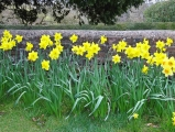 <h5>Experienced - English Spring Daffodils by Wally Crowther</h5>