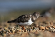 <h5>Experienced - Spring Migrant Turnstone by Sandy Robertson</h5>