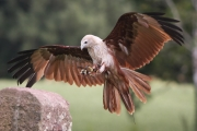 <h5>Aspiring - Brahminy Kite by Richard Thorne</h5>