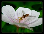 <h5>Aspiring - Hoverfly by Roger Taylor</h5>