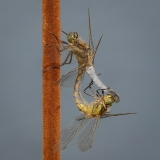 <h5>Experienced - Black Tailed Skimmers Mating by Richard Wiseman</h5>