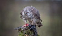 <h5>Highly Commended Experienced - Goshawk With Prey by Lee Sutton</h5>