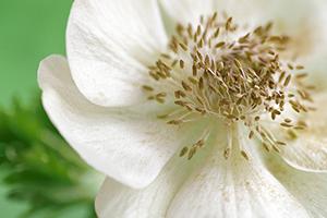 11 White Anemone
