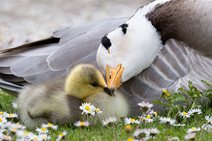 Bar-headed Goose with Young