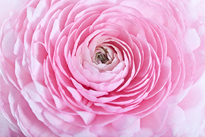 Ranunculus by julie-1
