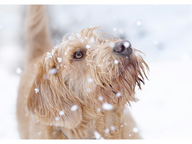 Highly Commended Experienced - Bailey First Snow by Julie Pigula