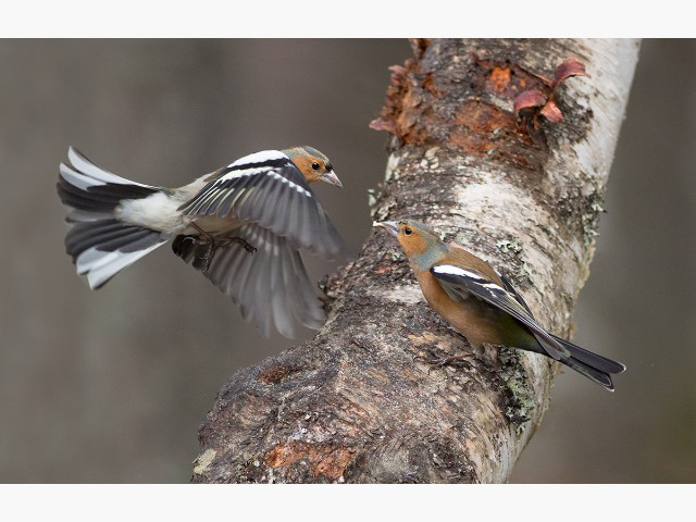 2nd Experienced - Chaffinch Dispute by Julie Pigula