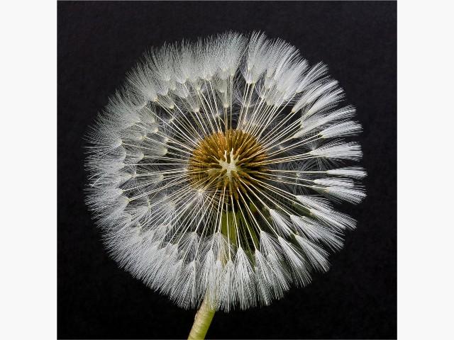 Highly Commended Aspiring - Emerging Dandelion by Mike Pockney