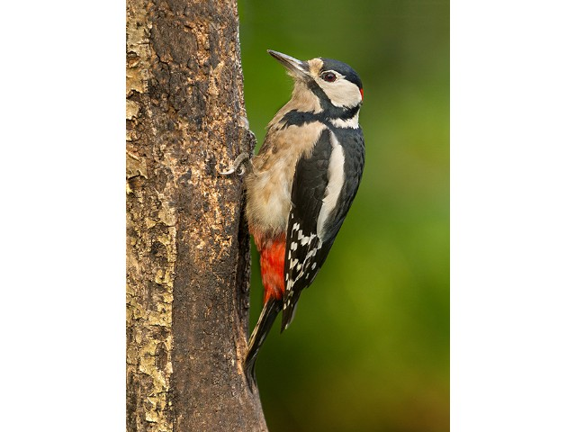 3rd Aspiring - Great Spotted Woodpecker by Alan Douglas