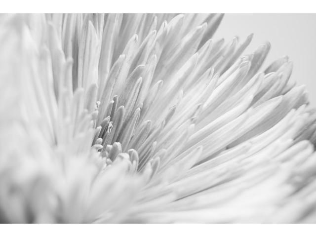 3rd Experienced - Chrysanthemum by Laura Hacking