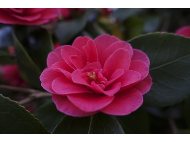 Highly Commended Aspiring - Camelia by Claire Faulkner