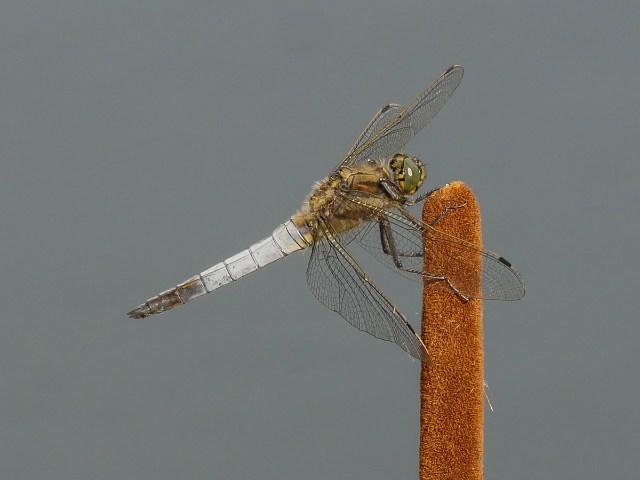 1st Aspiring - Black Tailed Skimmer by Richard Wiseman
