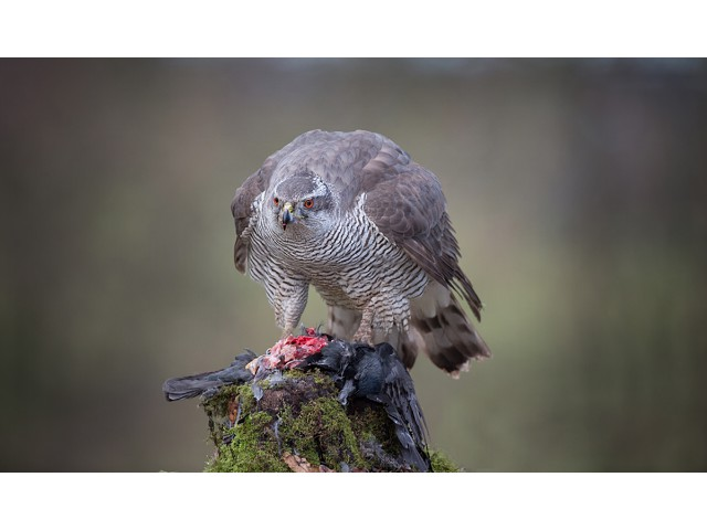 Highly Commended - Goshawk With Prey by Lee Sutton