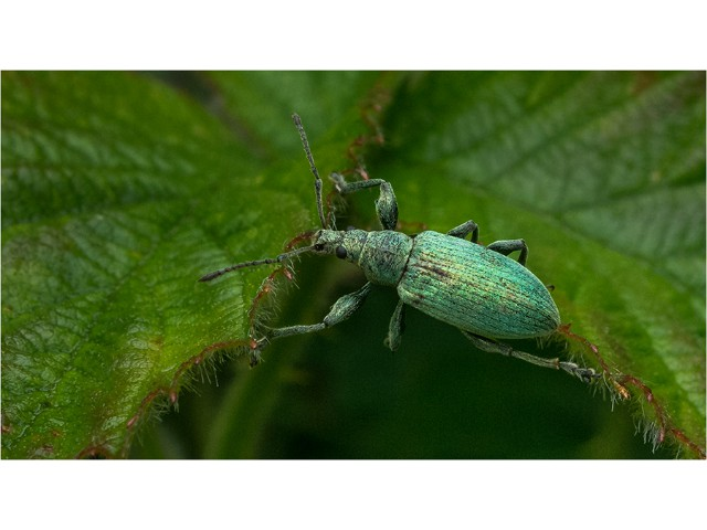 2nd Experienced - Weevil on Nettle by Mike Pockney