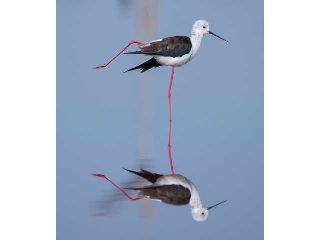3rd Experienced Black Winged Stilt Reflection by Richard Wiseman