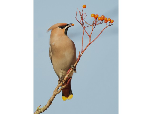 HC Experienced - Waxwing with Berry by Lee Sutton